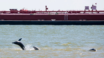 Three dolphins frolic as a tanker barge passes them.