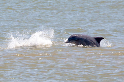 Another Dolphin leaps.