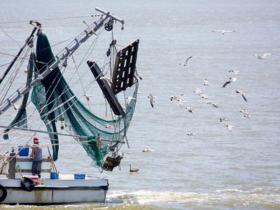 Another shrimp boat passes with its nets up and flock of gulls.