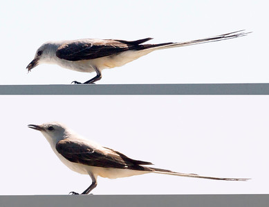 Two views of a Scissor-Tailed Flycather eating a bug