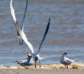 Four Royal Terns eye the fish caught by their comrade