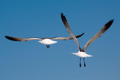 Two Laughing Gulls flaunt their tutus.