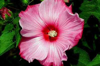 JMB_3413  One of Sharon's Hibiscus's.