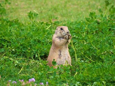 Prairie Dog at Devil's Tower 2