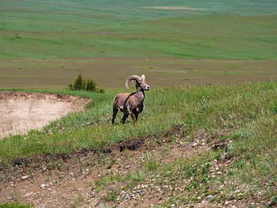Big Horn Sheep in Badlands 3