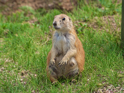 Prairie Dog at Devil's Tower
