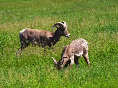 Big Horn Sheep in Badlands