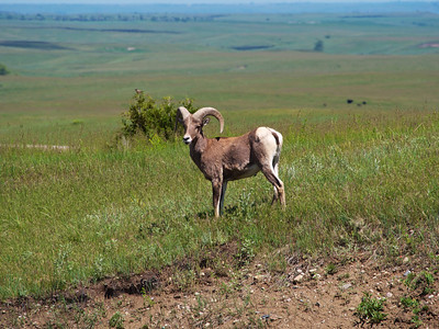 Big Horn Sheep in Badlands 2