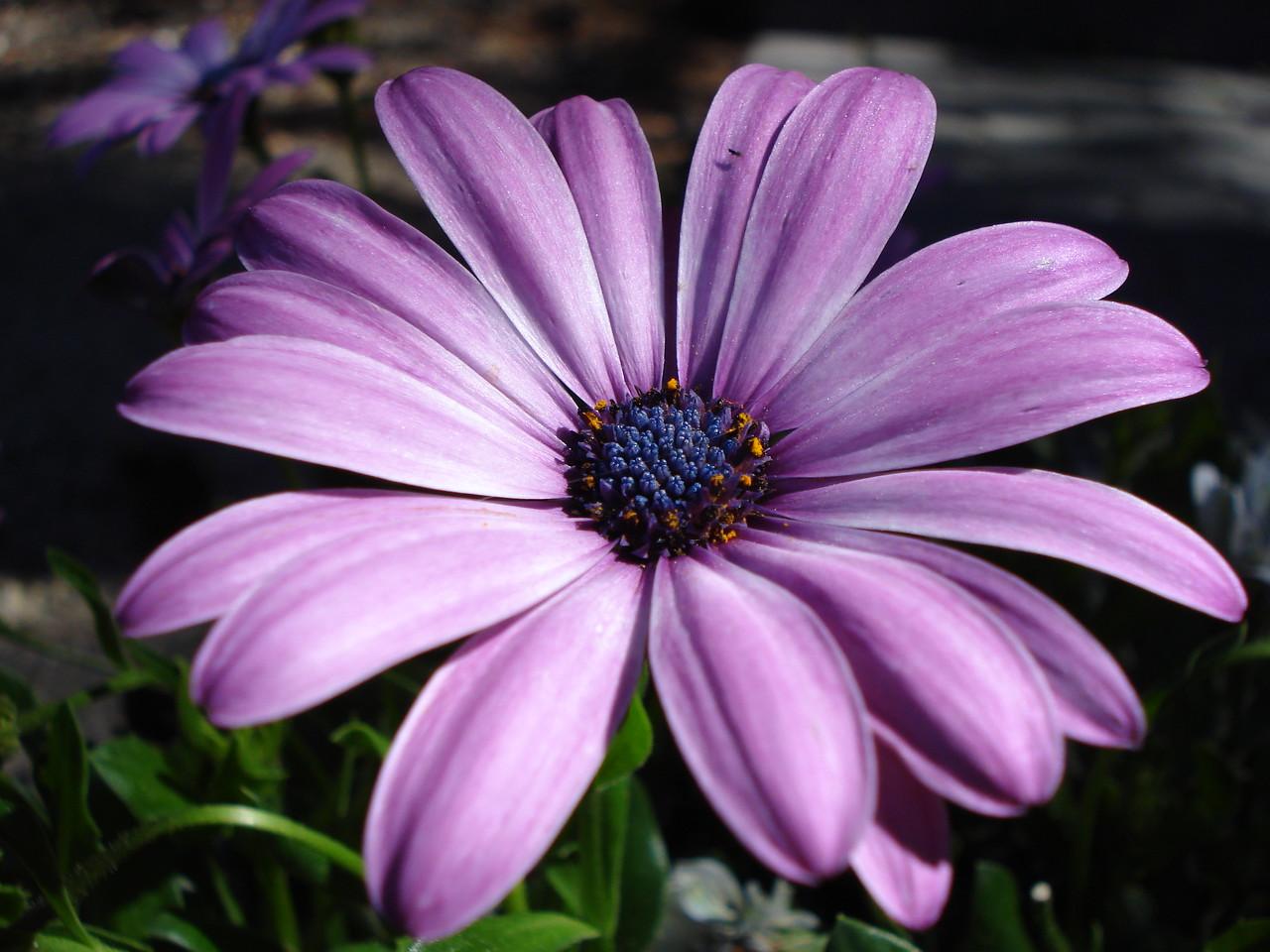 Sue Ellen's Daisy 07-04-2010