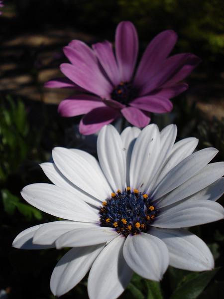 Sue Ellen's Daisies 07-04-2010