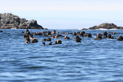 Nuchatlitz Sea Otters- one big happy family