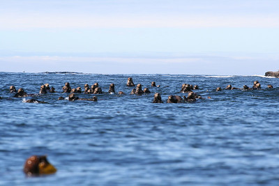 Nuchatlitz Sea Otters in raft formation