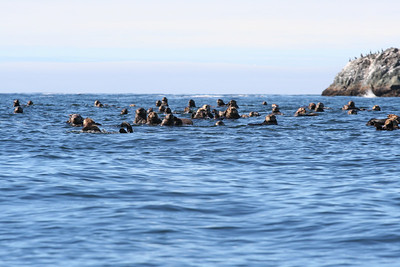 Nuchatlitz Sea Otters cavorting with a watchful eye