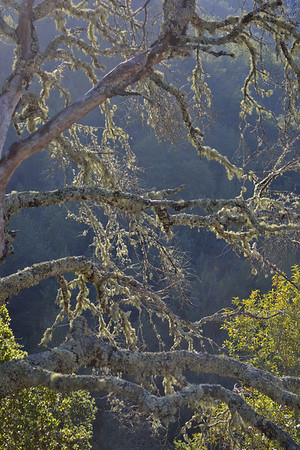 Lichens on Oaks.