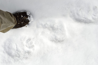 Bear tracks (you'll have to take my word - couldn't get a very good shot of them).