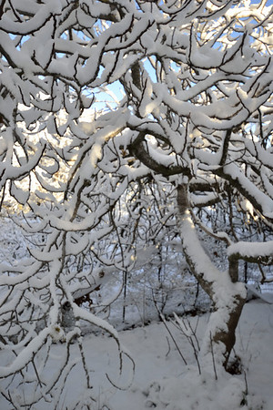 Snow on the old fig, Old Shasta.