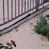 It's a snake!  Red racer - non venomous!