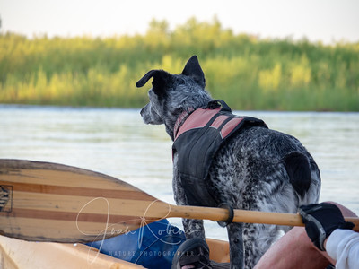 Lucy eagerly awaiting a landing on the Sacramento River