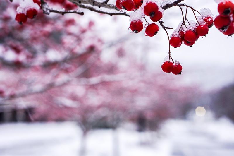 Late season berries in the snow.