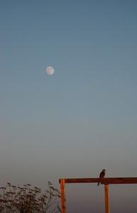 Hawk & moon