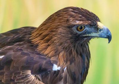 Rescued Sparrow Hawk
