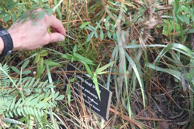 baby long-leaf pine
