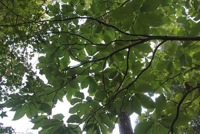 Magnolia macrophylla (big leaf magnolia)