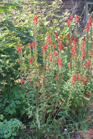 Lobelia cardinals (cardinal flower)