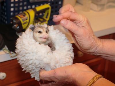 Baby Opossum 2016 005