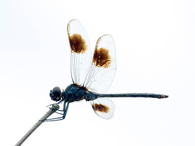 A Blue Dasher on a twig