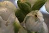 Goodyera pubescens<br /> Native Maine orchid