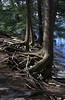 Below Ledgemere Dam - roots washed out