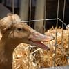 Duck with a do / Pato peinado