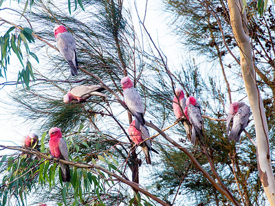 ... then fly off to fill the nearby trees with Galahs as the sun sets.