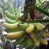 O.C. Marsh Botanical Garden Bananas