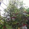 O.C. Marsh Botanical Garden Coffee plant