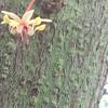 O.C. Marsh Botanical Garden Cacao flower