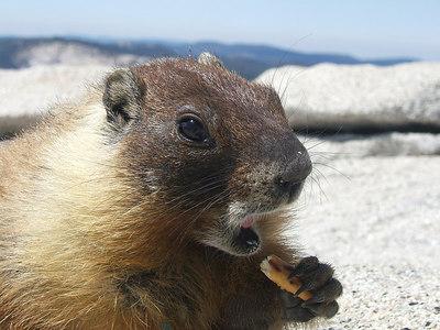 Marmot -- mid-bite.