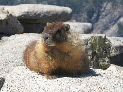Our Marmot friend.