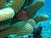 A common Freckled Hawkfish peeks out of the coral.