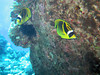A couple of raccoon butterflyfish race around a large lava rock.