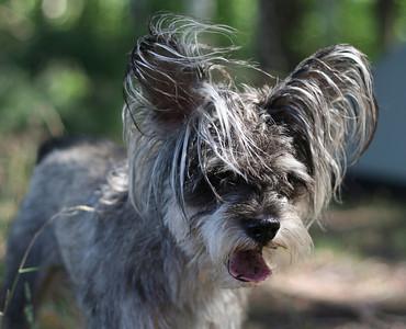 Portrait of the grey terrier