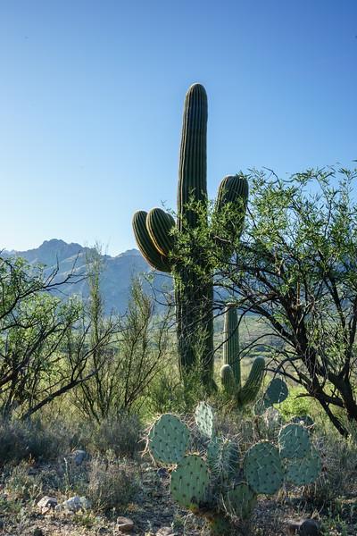 Saguaro and Pancake Prickly Pear Cactus