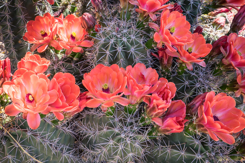 King Cup Cactus
