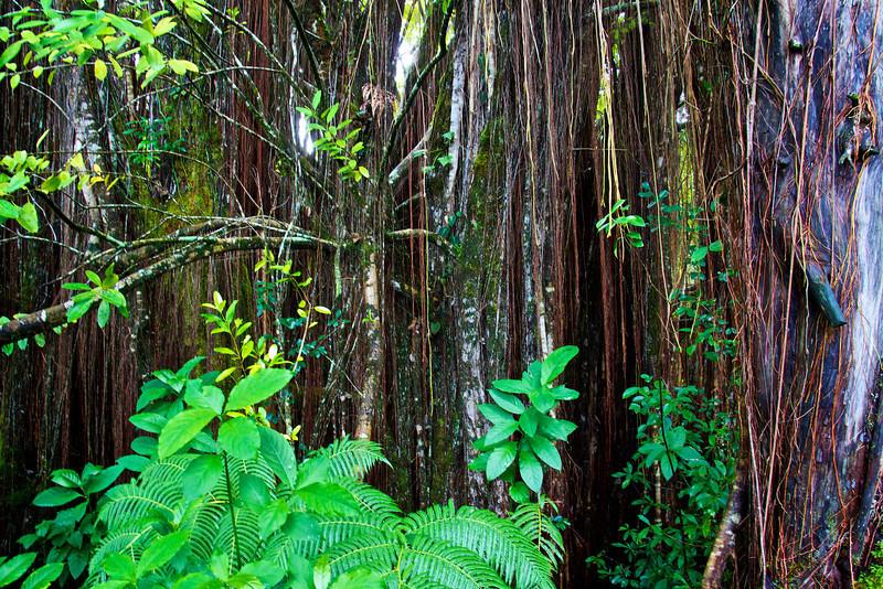 Jungle near Akaka falls Hawaii