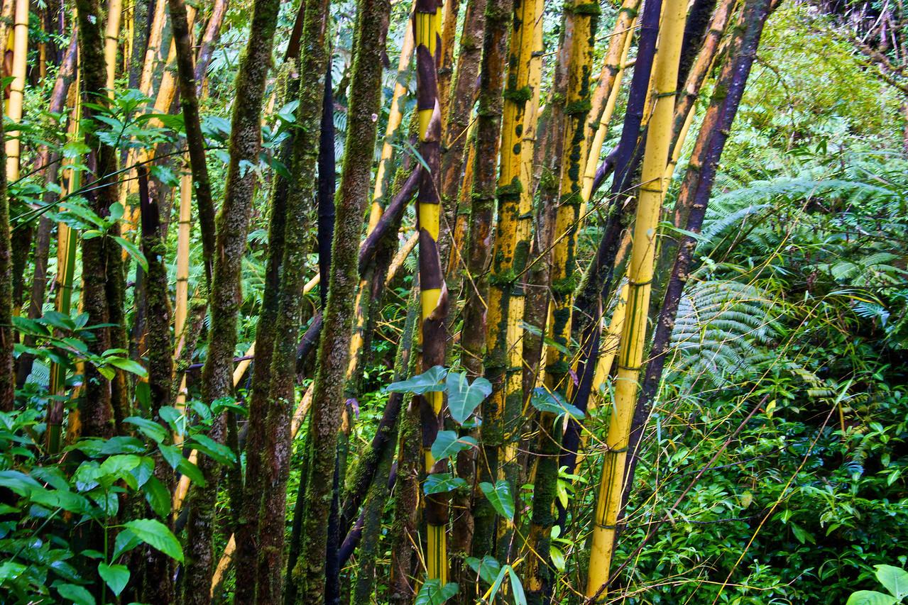Bamboo near Akaka Falls Hawaii