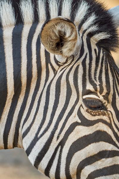 Zebra Cameo