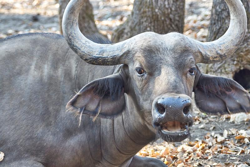 Cape Buffalo yawning