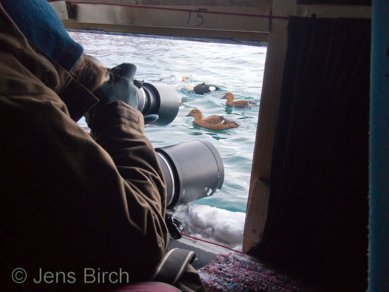Nature photographer Cathrine S. Spikkerud photographing king eiders from the floating hide in Båtsfjord, Varanger, Norge, March 2013