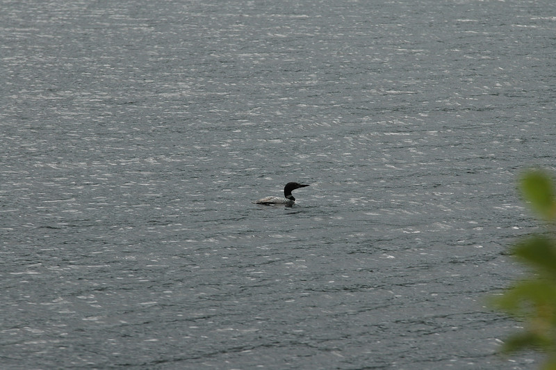 a Loon.